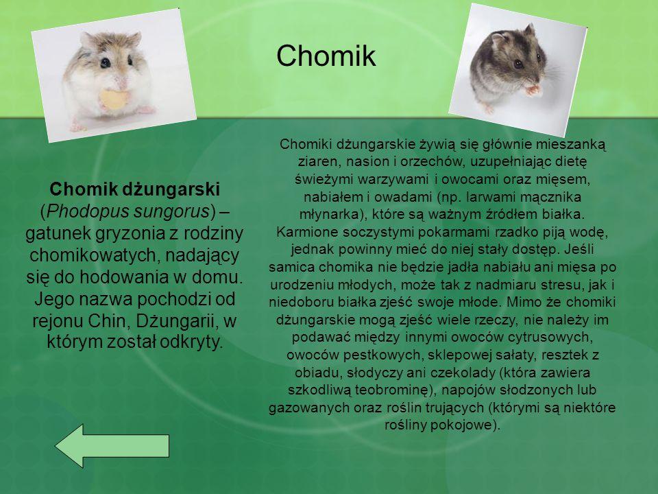 Chomik Chomik dżungarski (Phodopus sungorus) – gatunek gryzonia z rodziny chomikowatych, nadający się do hodowania w domu. Jego nazwa pochodzi od rejo