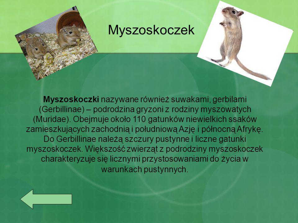 Myszoskoczek Myszoskoczki nazywane również suwakami, gerbilami (Gerbillinae) – podrodzina gryzoni z rodziny myszowatych (Muridae).