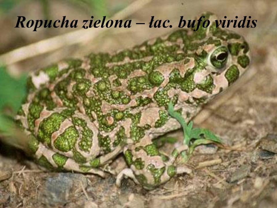 Ropucha zielona – łac. bufo viridis
