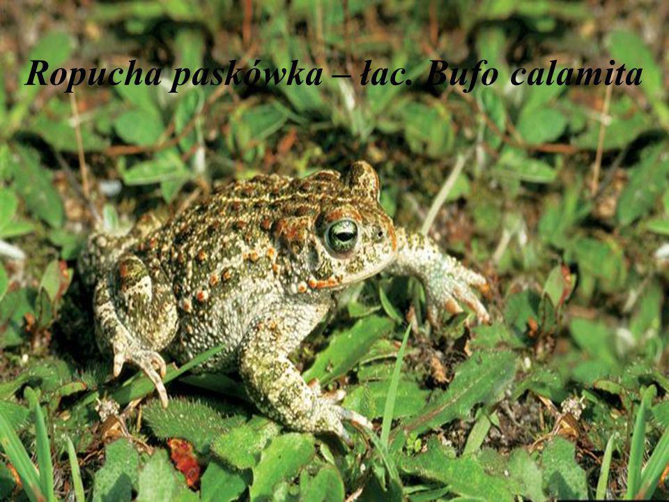 Ropucha paskówka – łac. Bufo calamita