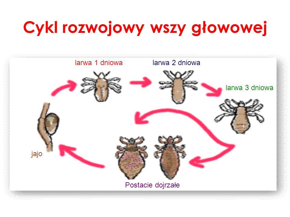 Cykl rozwojowy wszy głowowej jajo larwa 1 dniowalarwa 2 dniowa larwa 3 dniowa Postacie dojrzałe
