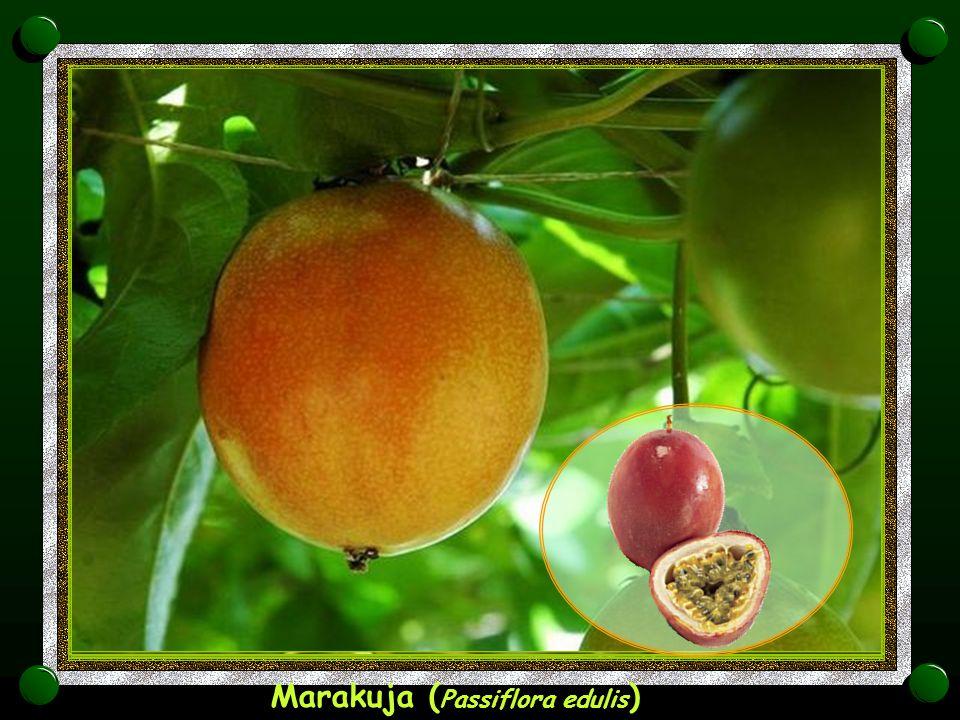 Mango ( Mangifera )