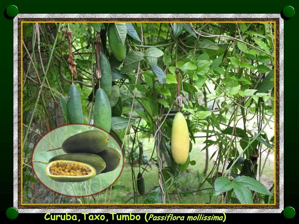 Marakuja ( Passiflora edulis )