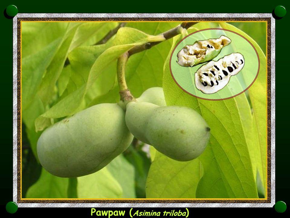 Nanercz, indijski orešek ( Anacardium occidentale )