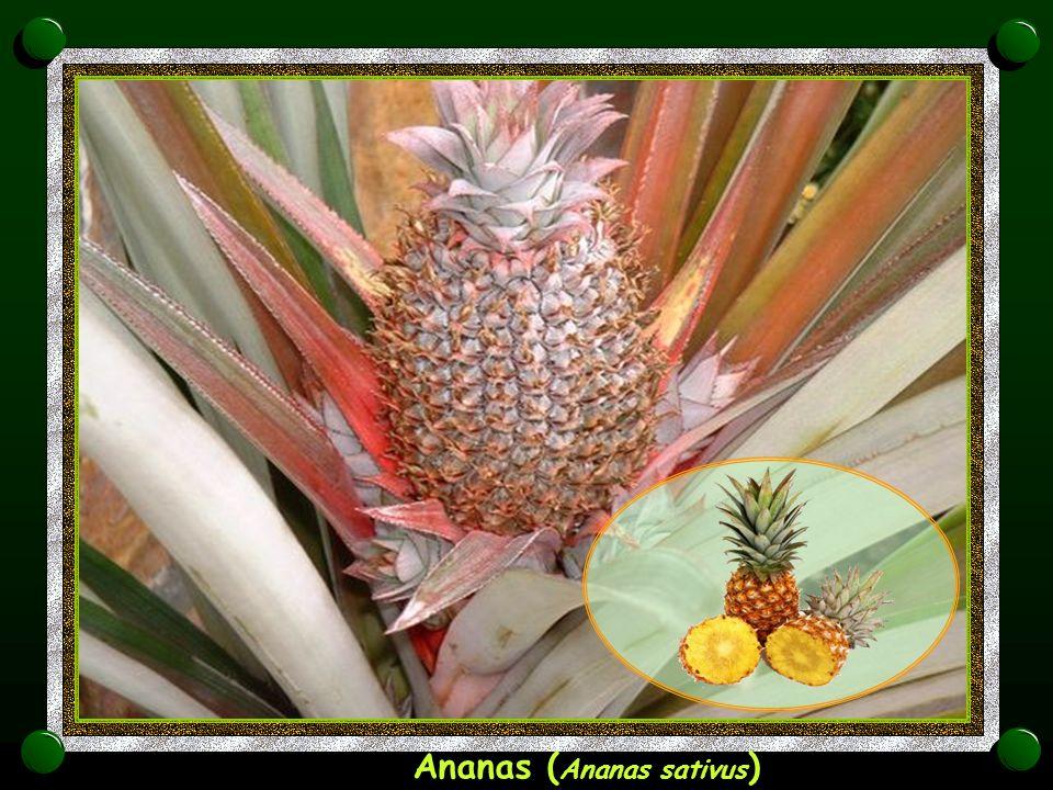Durian ( Durio )