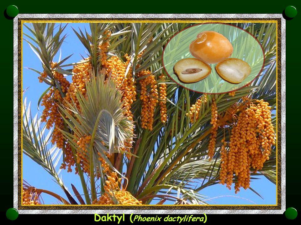 Kokos ( Cocos nucifera )