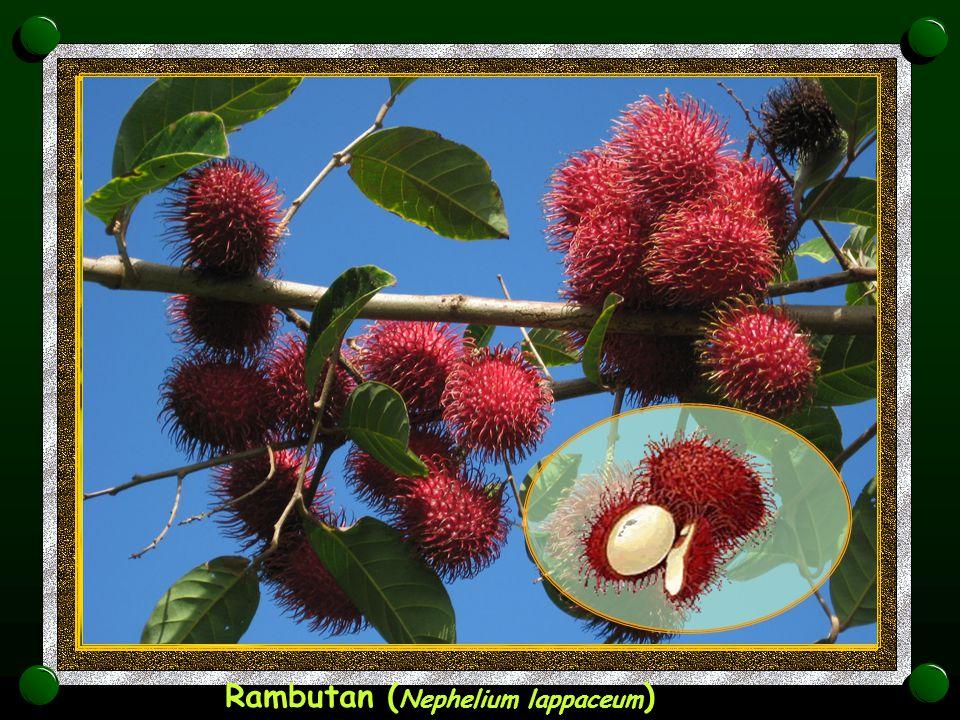 Acerola,Viśnja iz Barbadosa ( Malpighia glabra )