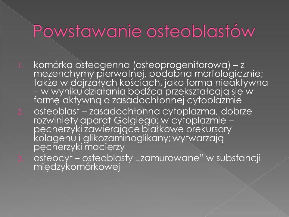 1. komórka osteogenna (osteoprogenitorowa) – z mezenchymy pierwotnej, podobna morfologicznie; także w dojrzałych kościach, jako forma nieaktywna – w w