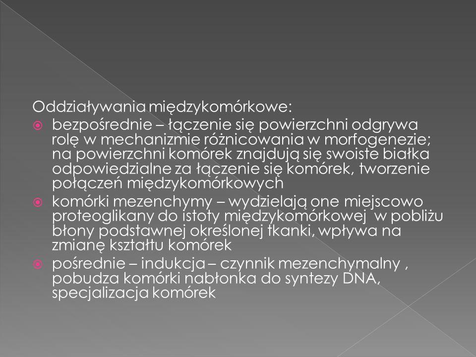  komórka niezróżnicowana – nieliczne błony cytoplazmatyczne, rybosomy, mitochondria, siateczka śródplazmatyczna – luźno ułożone pęcherzyki  pierwsze oznaki różnicowania – rozbudowa siateczki śródplazmatycznej, zwiększenie liczby rybosomów, pojawienie się siateczki śródplazmatycznej szorstkiej, zwiększenie liczby mitochondriów, rozbudowa lizosomów i aparatu Golgiego  ostatnie stadium – pojawienie się elementów cytoszkieletu
