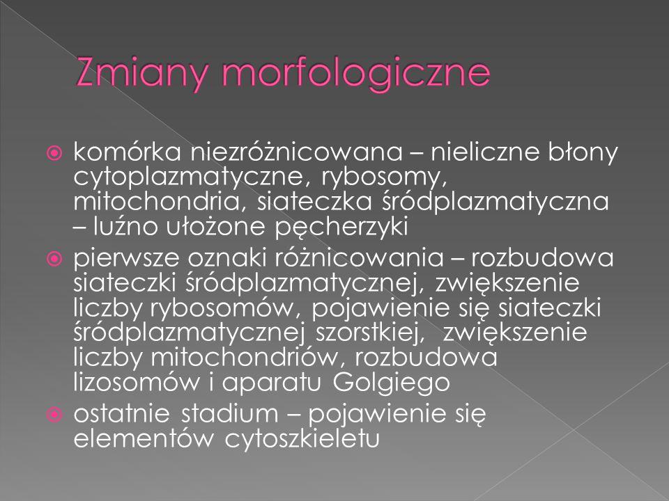  komórka niezróżnicowana – nieliczne błony cytoplazmatyczne, rybosomy, mitochondria, siateczka śródplazmatyczna – luźno ułożone pęcherzyki  pierwsze