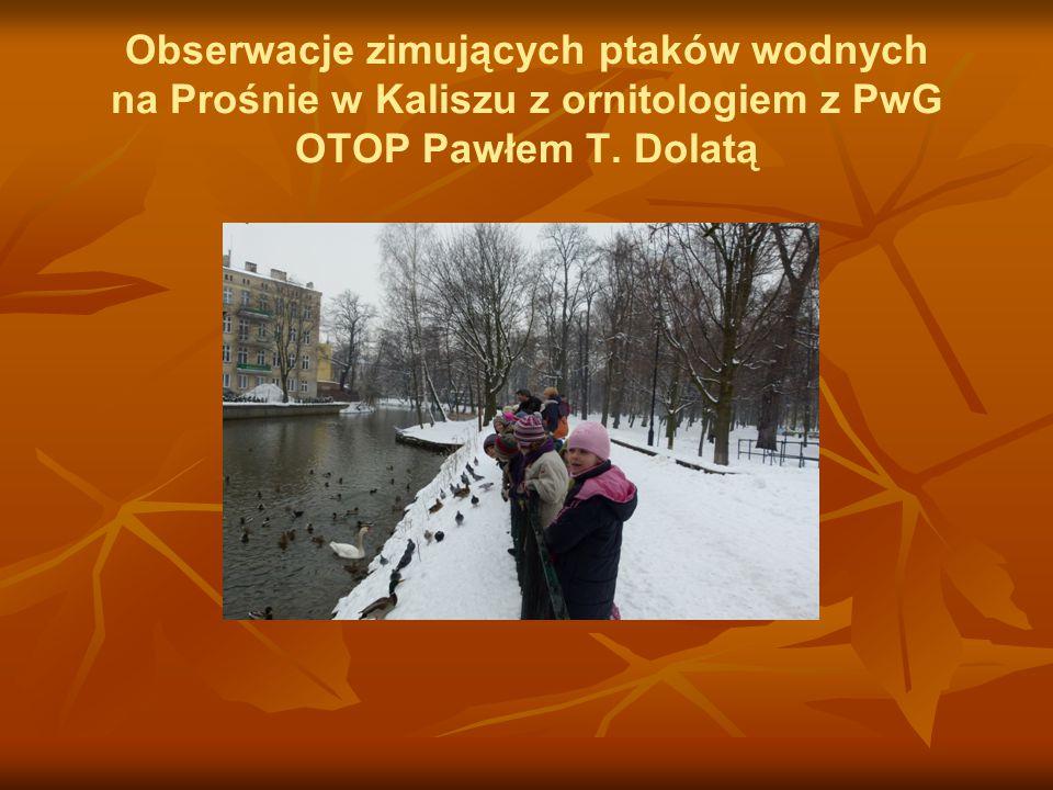 Obserwacje zimujących ptaków wodnych na Prośnie w Kaliszu z ornitologiem z PwG OTOP Pawłem T. Dolatą