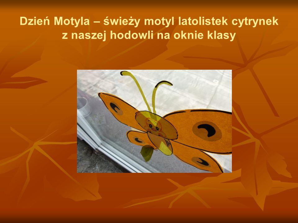 Dzień Motyla – świeży motyl latolistek cytrynek z naszej hodowli na oknie klasy