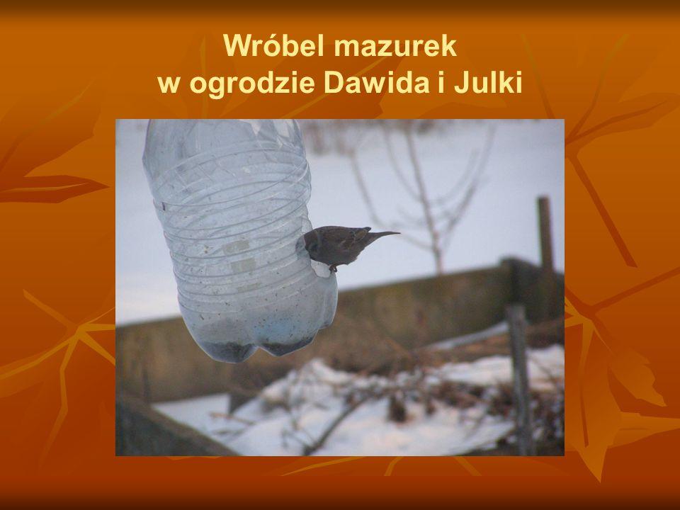 Wróbel mazurek w ogrodzie Dawida i Julki