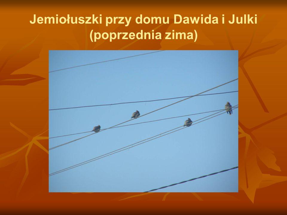 Jemiołuszki przy domu Dawida i Julki (poprzednia zima)