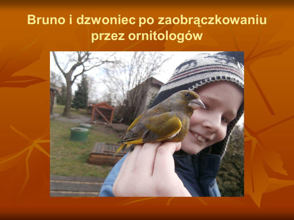 Bruno i dzwoniec po zaobrączkowaniu przez ornitologów