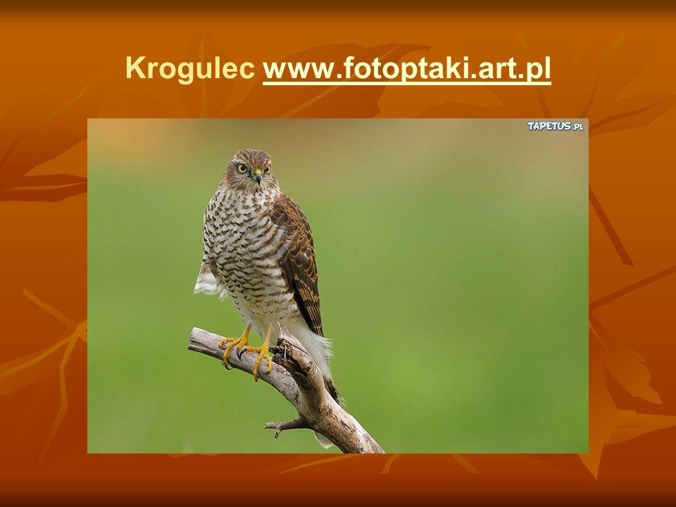 Krogulec www.fotoptaki.art.plwww.fotoptaki.art.pl