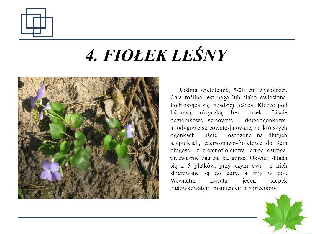 1010 4. FIOŁEK LEŚNY Roślina wieloletnia, 5-20 cm wysokości. Cała roślina jest naga lub słabo owłosiona. Podnosząca się, rzadziej leżąca. Kłącze pod l