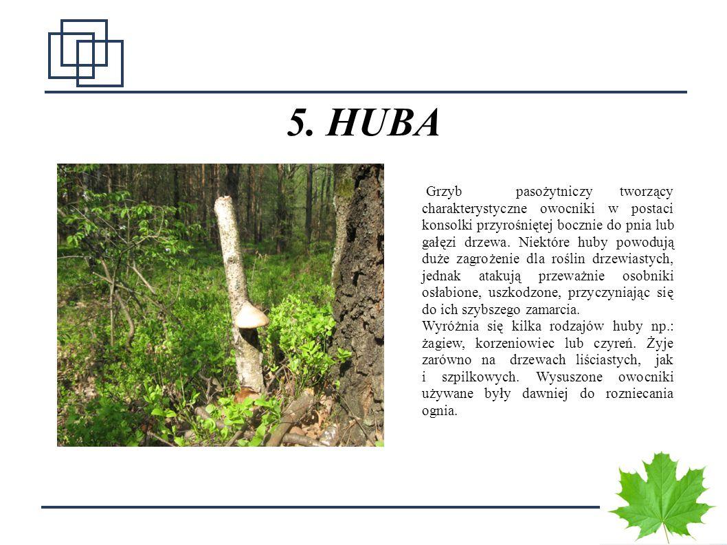 1 5. HUBA Grzyb pasożytniczy tworzący charakterystyczne owocniki w postaci konsolki przyrośniętej bocznie do pnia lub gałęzi drzewa. Niektóre huby pow