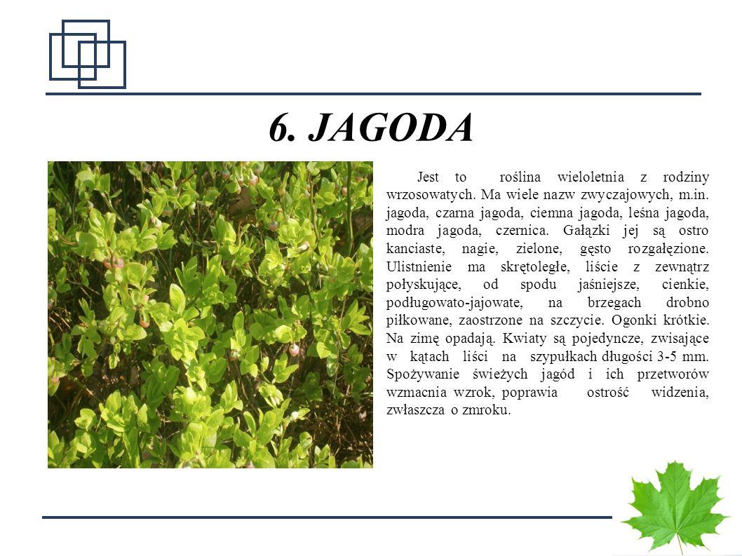 1212 6. JAGODA Jest to roślina wieloletnia z rodziny wrzosowatych. Ma wiele nazw zwyczajowych, m.in. jagoda, czarna jagoda, ciemna jagoda, leśna jagod