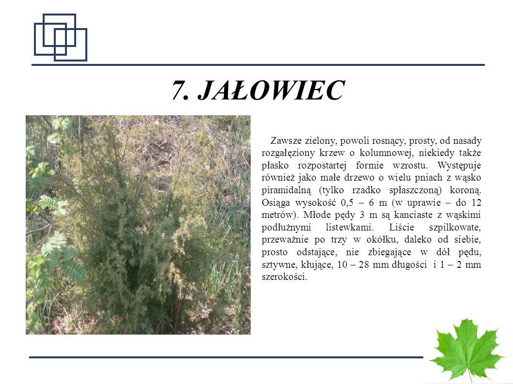 1313 7. JAŁOWIEC Zawsze zielony, powoli rosnący, prosty, od nasady rozgałęziony krzew o kolumnowej, niekiedy także płasko rozpostartej formie wzrostu.