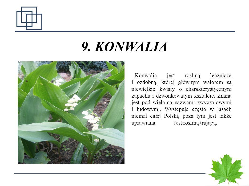 1515 9. KONWALIA Konwalia jest rośliną leczniczą i ozdobną, której głównym walorem są niewielkie kwiaty o charakterystycznym zapachu i dzwonkowatym ks