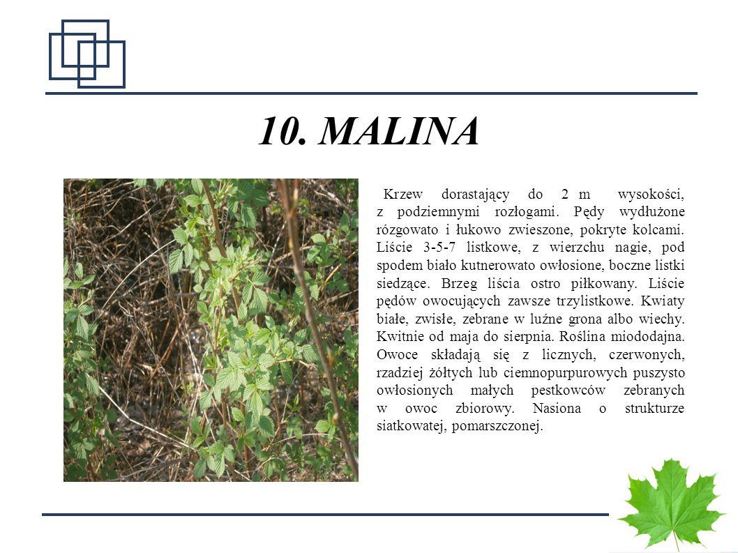 1616 10. MALINA Krzew dorastający do 2 m wysokości, z podziemnymi rozłogami. Pędy wydłużone rózgowato i łukowo zwieszone, pokryte kolcami. Liście 3-5-