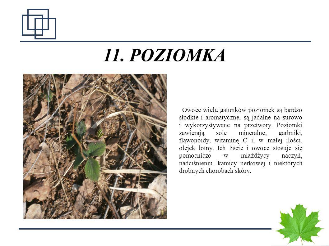 1717 11. POZIOMKA Owoce wielu gatunków poziomek są bardzo słodkie i aromatyczne, są jadalne na surowo i wykorzystywane na przetwory. Poziomki zawieraj