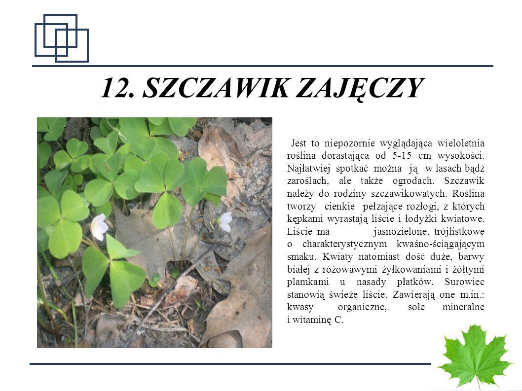 1818 12. SZCZAWIK ZAJĘCZY Jest to niepozornie wyglądająca wieloletnia roślina dorastająca od 5-15 cm wysokości. Najłatwiej spotkać można ją w lasach b