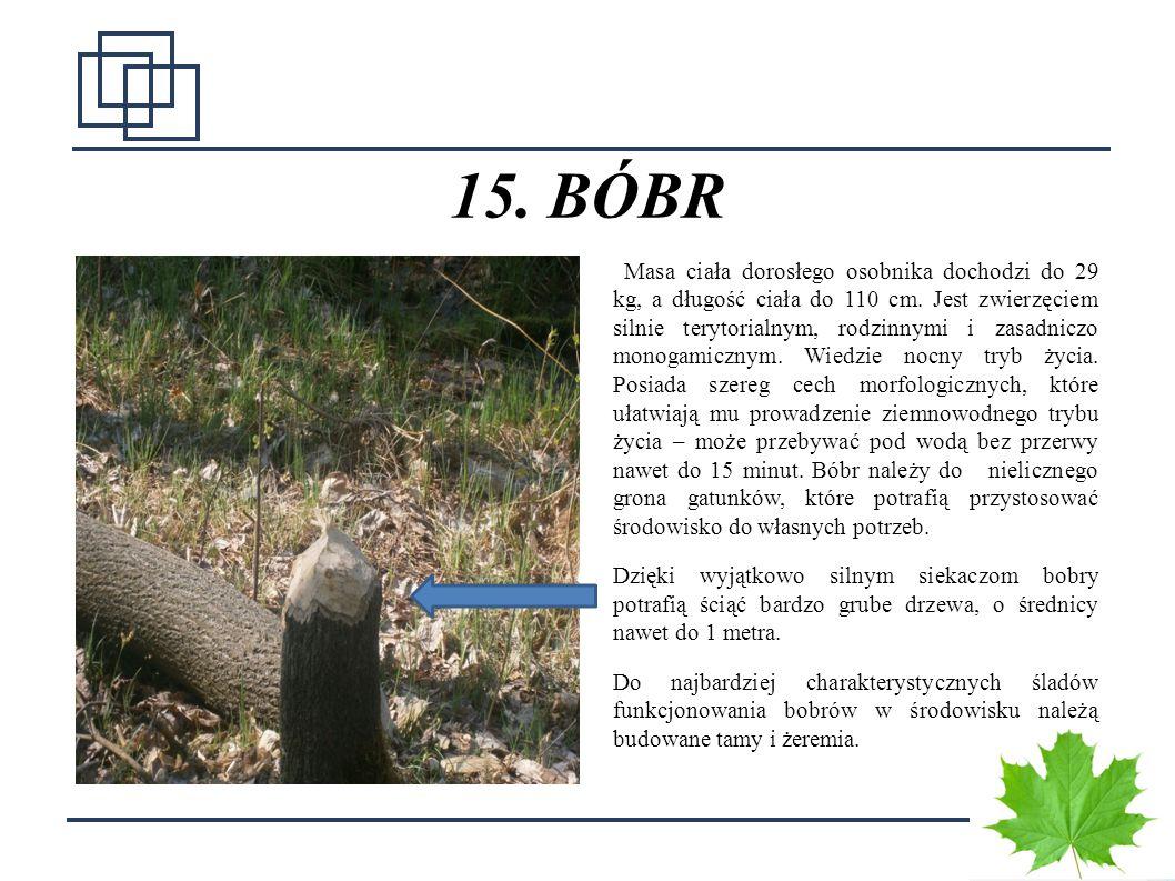 2 15. BÓBR Masa ciała dorosłego osobnika dochodzi do 29 kg, a długość ciała do 110 cm. Jest zwierzęciem silnie terytorialnym, rodzinnymi i zasadniczo