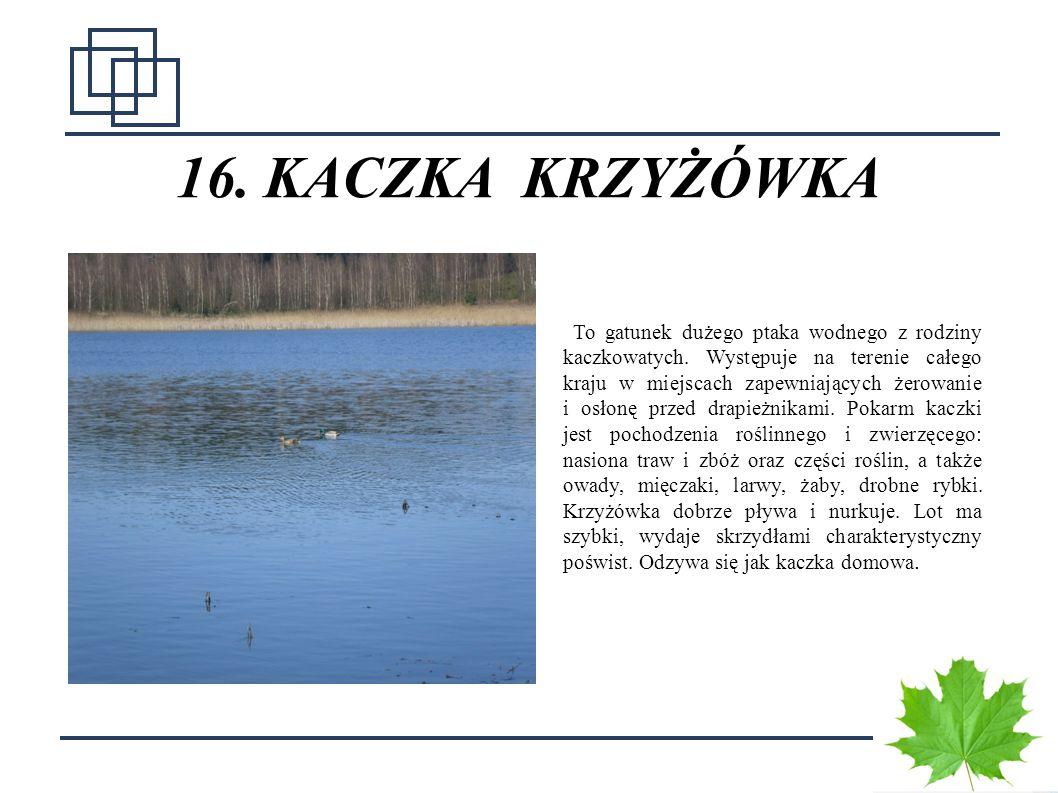 2323 16. KACZKA KRZYŻÓWKA To gatunek dużego ptaka wodnego z rodziny kaczkowatych. Występuje na terenie całego kraju w miejscach zapewniających żerowan