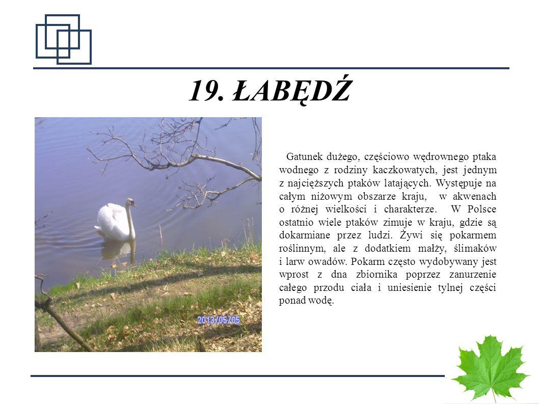 2626 19. ŁABĘDŹ Gatunek dużego, częściowo wędrownego ptaka wodnego z rodziny kaczkowatych, jest jednym z najcięższych ptaków latających. Występuje na