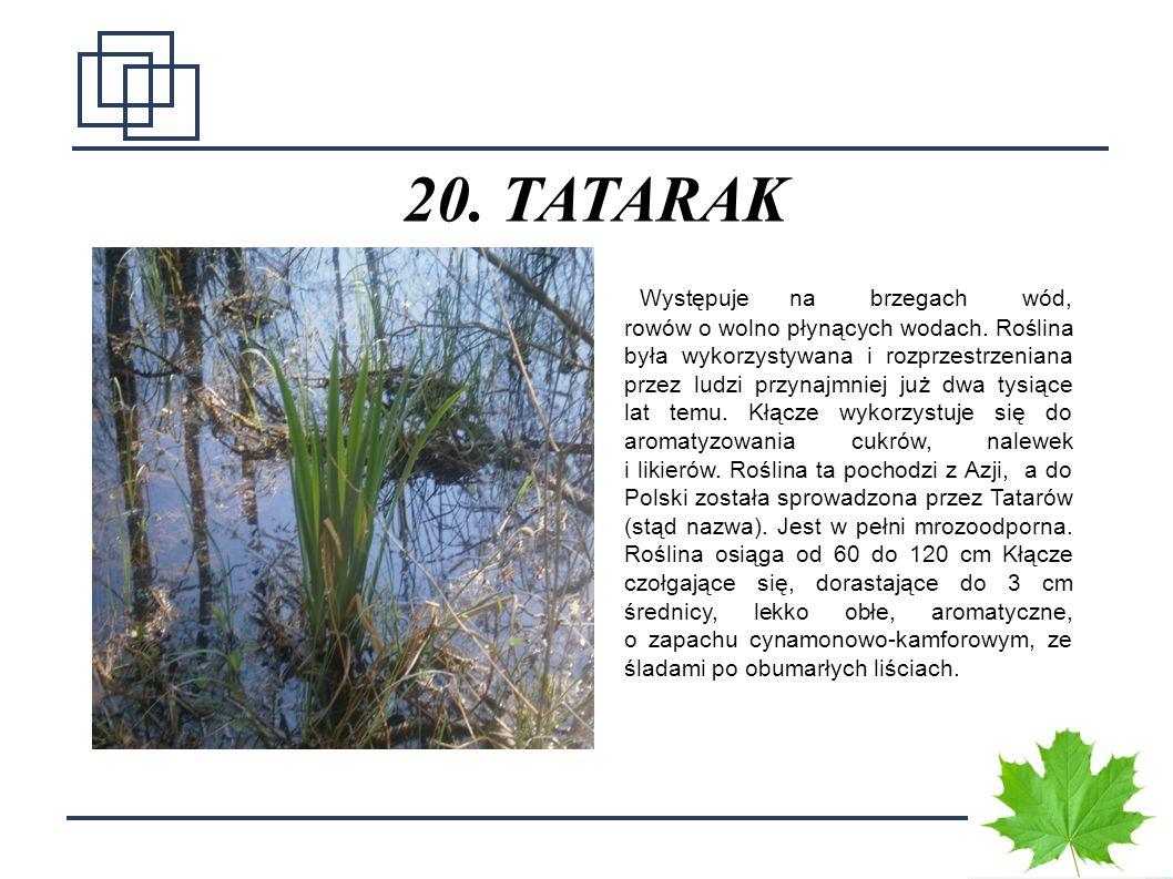 2727 20. TATARAK Występuje na brzegach wód, rowów o wolno płynących wodach. Roślina była wykorzystywana i rozprzestrzeniana przez ludzi przynajmniej j