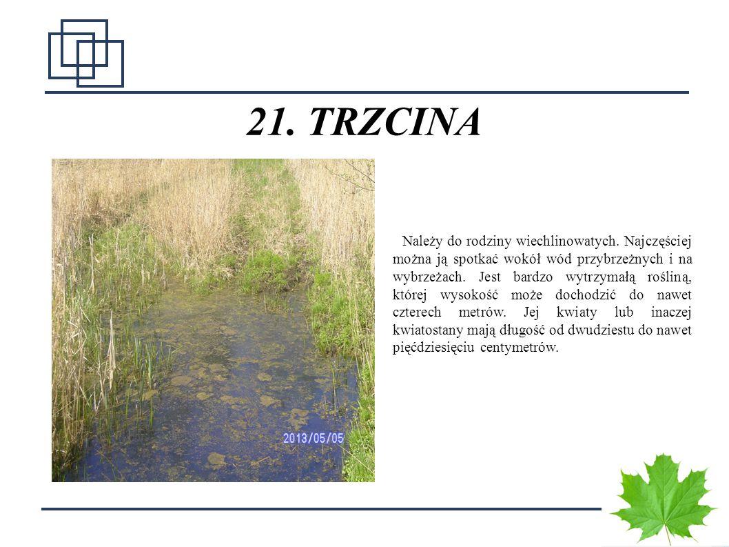 2828 21. TRZCINA Należy do rodziny wiechlinowatych. Najczęściej można ją spotkać wokół wód przybrzeżnych i na wybrzeżach. Jest bardzo wytrzymałą rośli