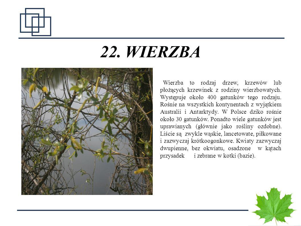 3030 23.ŻABA ZIELONA Najpospolitsza krajowa żaba zielona, spotykana nad zbiornikami wodnymi.