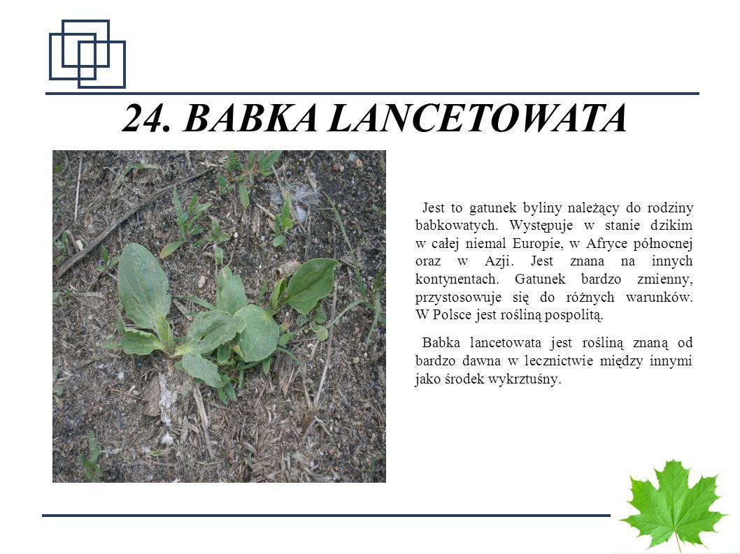 3232 24. BABKA LANCETOWATA Jest to gatunek byliny należący do rodziny babkowatych. Występuje w stanie dzikim w całej niemal Europie, w Afryce północne