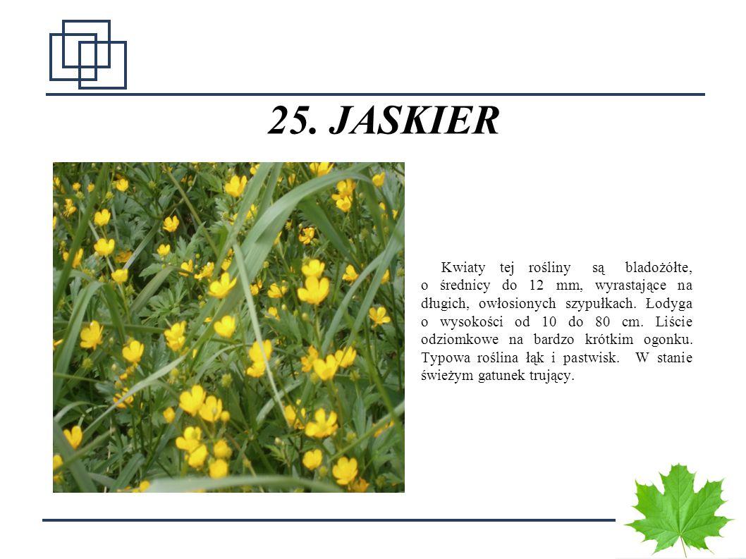 3 25. JASKIER Kwiaty tej rośliny są bladożółte, o średnicy do 12 mm, wyrastające na długich, owłosionych szypułkach. Łodyga o wysokości od 10 do 80 cm