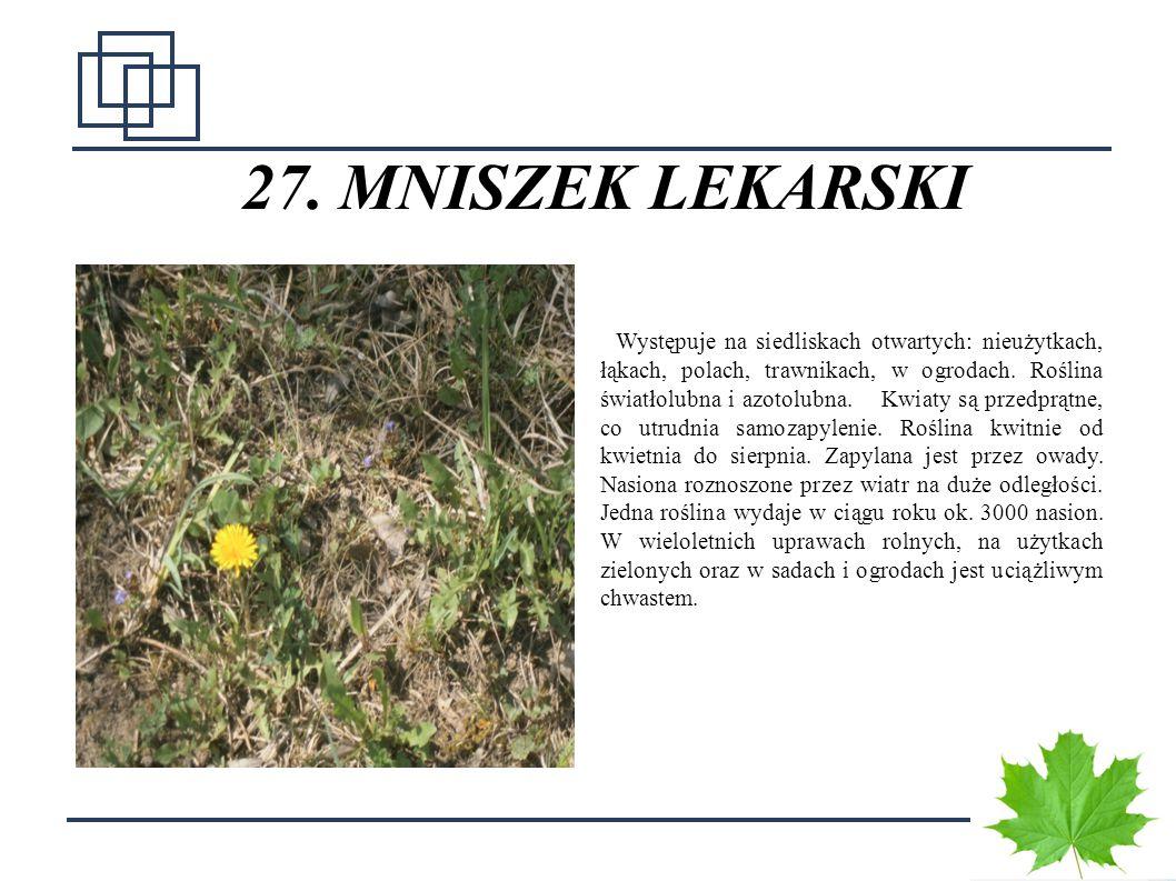 3535 27. MNISZEK LEKARSKI Występuje na siedliskach otwartych: nieużytkach, łąkach, polach, trawnikach, w ogrodach. Roślina światłolubna i azotolubna.