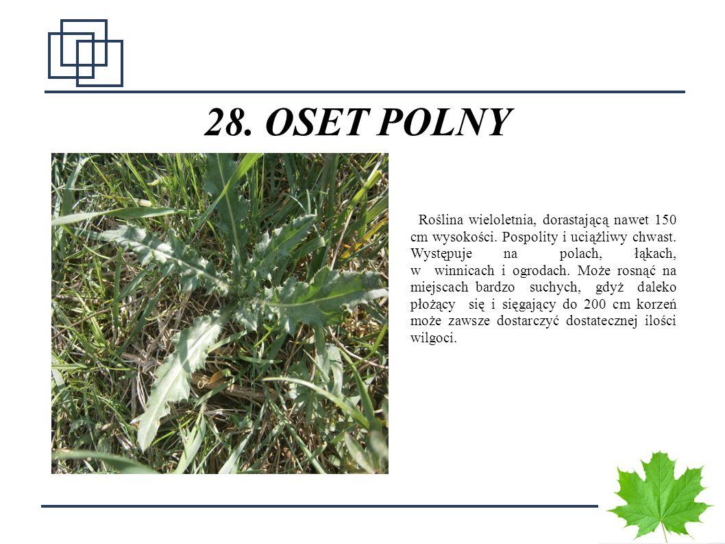 3636 28. OSET POLNY Roślina wieloletnia, dorastającą nawet 150 cm wysokości. Pospolity i uciążliwy chwast. Występuje na polach, łąkach, w winnicach i