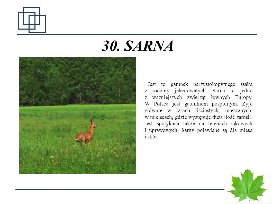 3838 30. SARNA Jest to gatunek parzystokopytnego ssaka z rodziny jeleniowatych. Sarna to jedno z ważniejszych zwierząt łownych Europy. W Polsce jest g