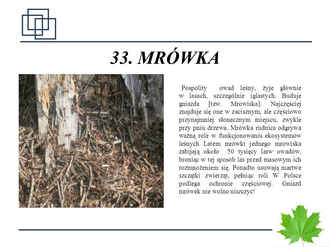 4141 33. MRÓWKA Pospolity owad leśny, żyje głównie w lasach, szczególnie iglastych. Buduje gniazda [tzw. Mrowiska]. Najczęściej znajduje się one w zac