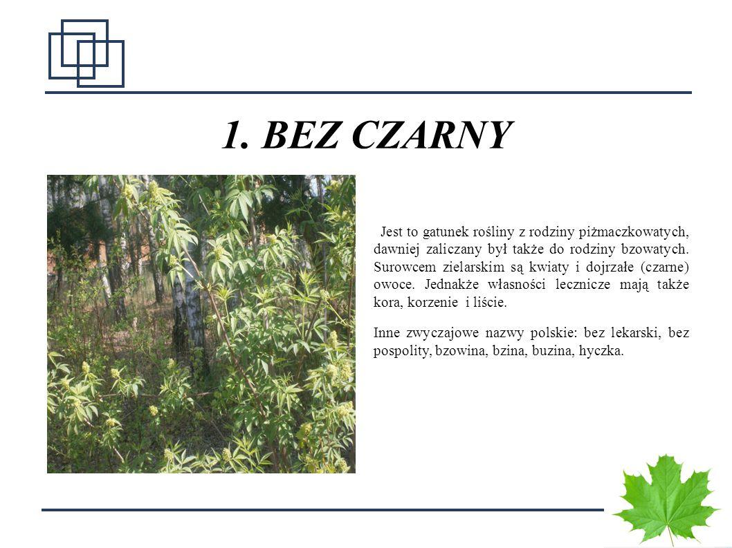 7 1. BEZ CZARNY Jest to gatunek rośliny z rodziny piżmaczkowatych, dawniej zaliczany był także do rodziny bzowatych. Surowcem zielarskim są kwiaty i d