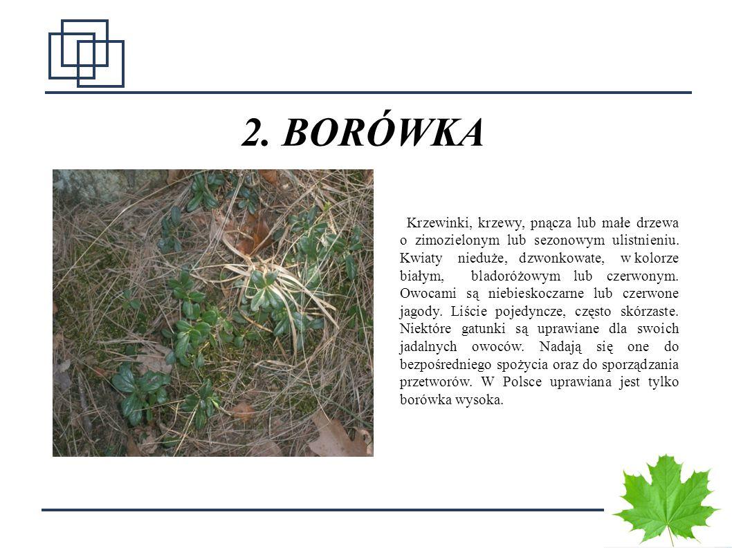 8 2. BORÓWKA Krzewinki, krzewy, pnącza lub małe drzewa o zimozielonym lub sezonowym ulistnieniu. Kwiaty nieduże, dzwonkowate, w kolorze białym, blador