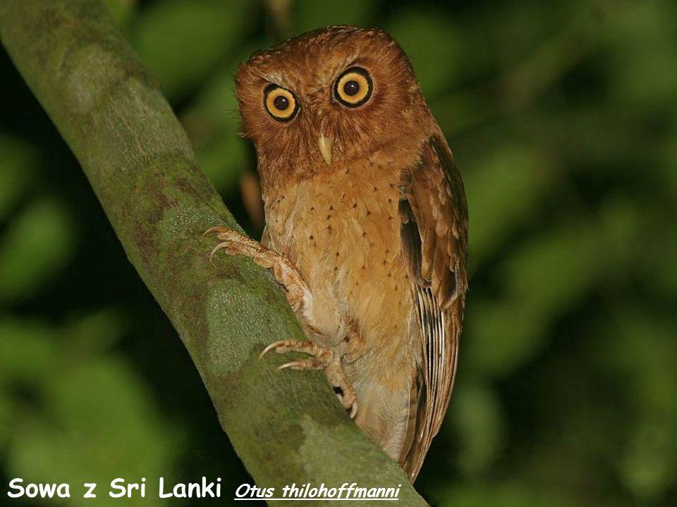 Sowa z Sri Lanki Otus thilohoffmanni