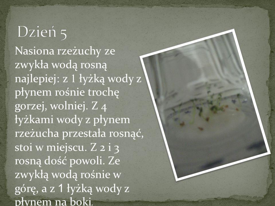 Nasiona rzeżuchy ze zwykła wodą rosną najlepiej: z 1 łyżką wody z płynem rośnie trochę gorzej, wolniej. Z 4 łyżkami wody z płynem rzeżucha przestała r