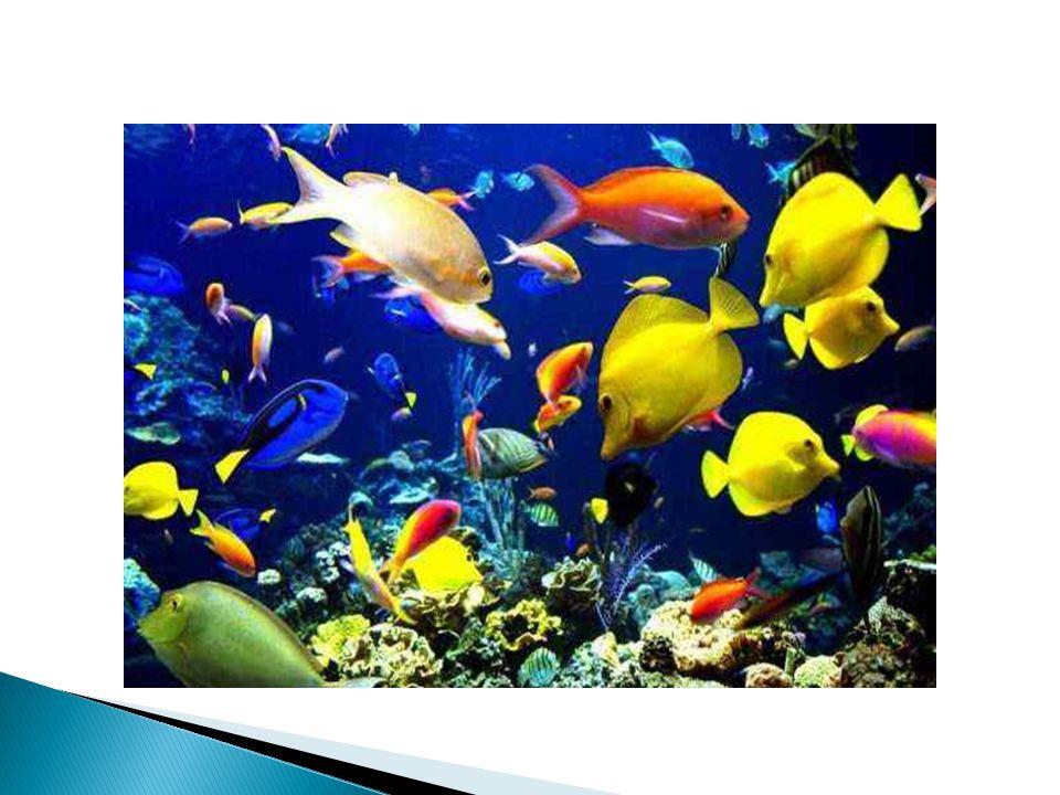  Wszystkie ryby są kręgowcami, żyją w wodzie. Ryby mają opływowe ciało pokryte łuskami i śluzem.