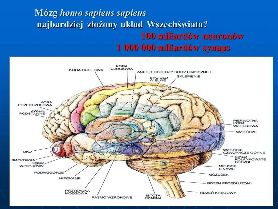 Mózg homo sapiens sapiens najbardziej złożony układ Wszechświata? 100 miliardów neuronów 1 000 000 miliardów synaps