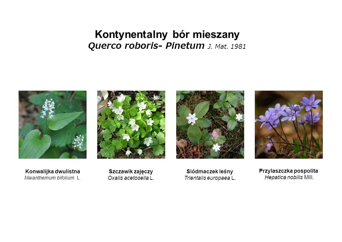 Kontynentalny bór mieszany Querco roboris- Pinetum J. Mat. 1981 Konwalijka dwulistna Maianthemum bifolium L. Szczawik zajęczy Oxalis acetosella L. Sió