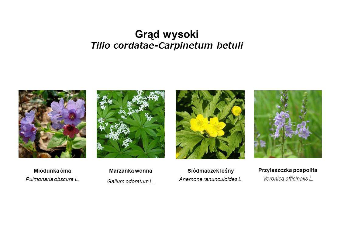 Grąd wysoki Tilio cordatae-Carpinetum betuli Miodunka ćma Pulmonaria obscura L. Marzanka wonna Galium odoratum L. Siódmaczek leśny Anemone ranunculoid