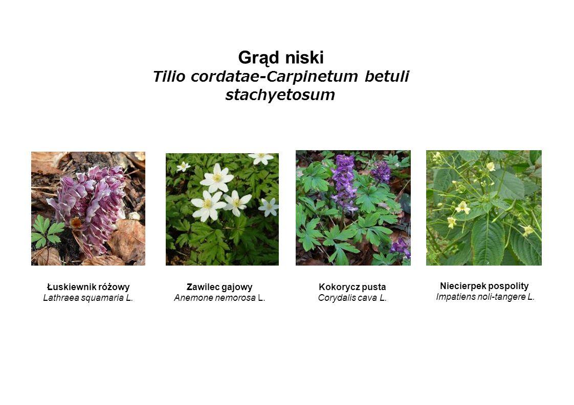 Grąd niski Tilio cordatae-Carpinetum betuli stachyetosum Łuskiewnik różowy Lathraea squamaria L. Zawilec gajowy Anemone nemorosa L. Kokorycz pusta Cor