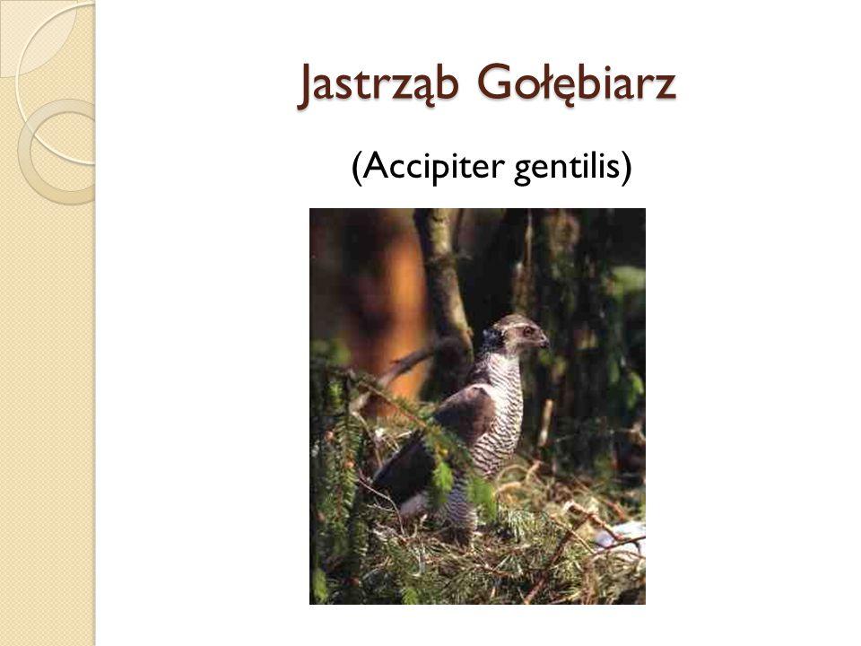 Jastrząb Gołębiarz (Accipiter gentilis)